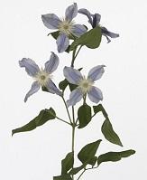 Gazen Tulip -clematis-175302