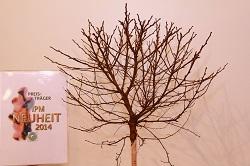 IPM 2014 6 betula_pendula_magical_globe_Kolster_SP03_2014