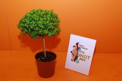 IPM 2014 7 basil_tree_Global_Plant_SP03_2014