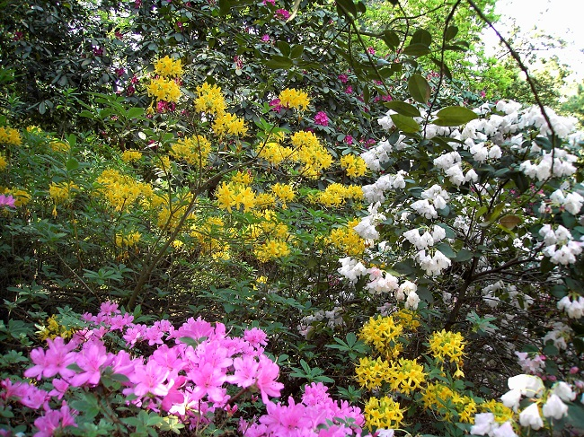 Rhododendrong rten farbexplosionen im fr hling gawina for Gartengestaltung rhododendron