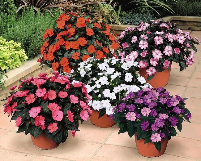 sunpatiens das neue und ganz besondere lieschen gawina beet und balkonpflanzen. Black Bedroom Furniture Sets. Home Design Ideas