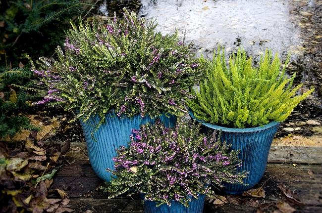 erica darleyensis die englische heide bl ht im winter. Black Bedroom Furniture Sets. Home Design Ideas