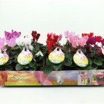 Cyclamen Summer Dreams im 10,5 cm Topf
