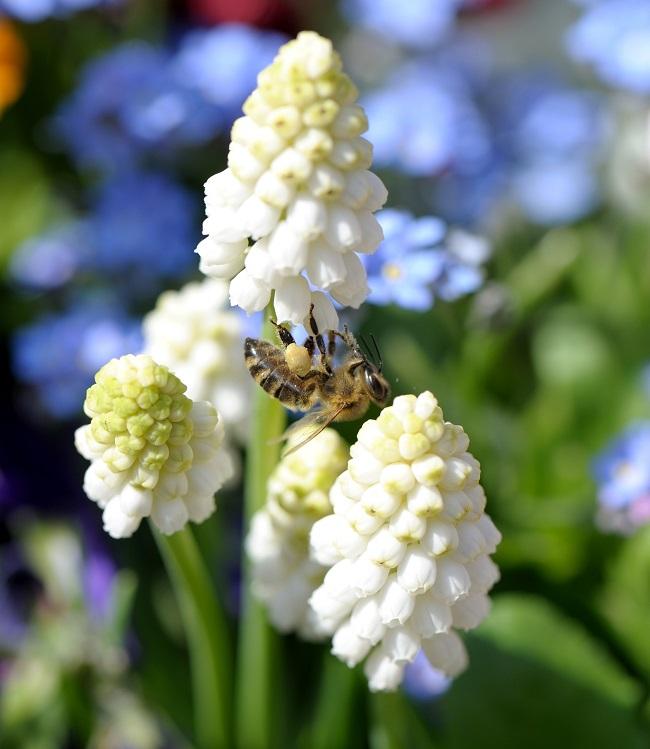 richtige pflanzenauswahl sch tzt unsere bienen gawina beet und balkonpflanzen bienen im. Black Bedroom Furniture Sets. Home Design Ideas