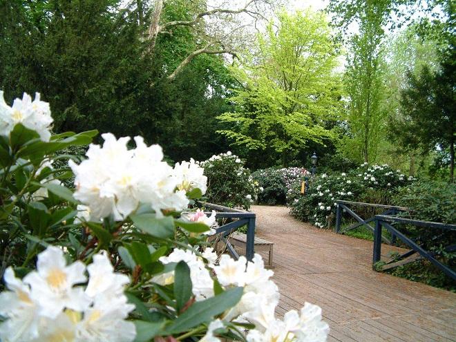 Arcen_Rhododendronbluete
