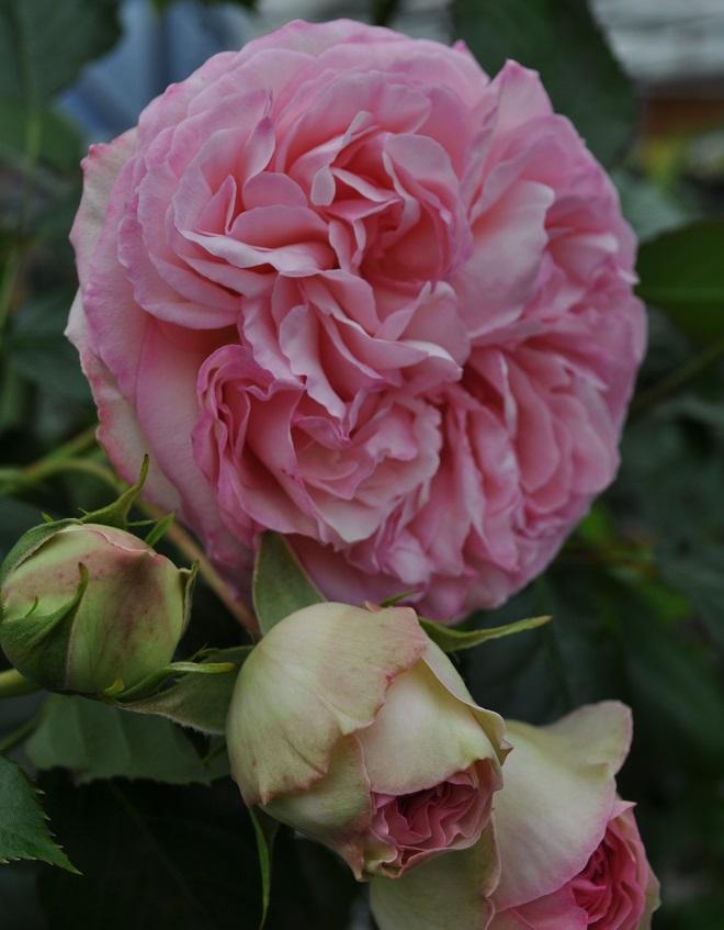 rosenpflege im eigenen garten ist leichter als gedacht gawina rosen online kaufen. Black Bedroom Furniture Sets. Home Design Ideas