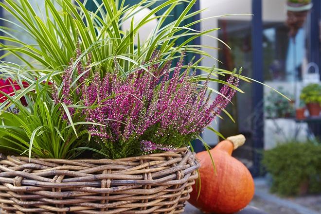 Bildunterschrift: Aufgehübscht: Seggen verleihen bewährten Herbstblühern wie dem Heidekraut eine frische Note. (Bildnachweis: GMH/Rudi Schubert)
