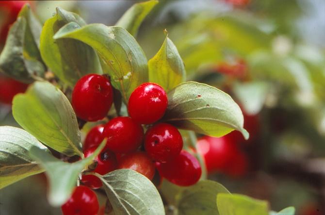 Bildunterschrift: Die roten Früchte der Kornelkirsche (Cornus mas) lassen sich zu Gelee und Likör verarbeiten. Außerdem dienen sie, wie auch anderes Wild-obst, Vögeln als natürliche Nahrungsquelle. (Bildnachweis: GMH/GBV)