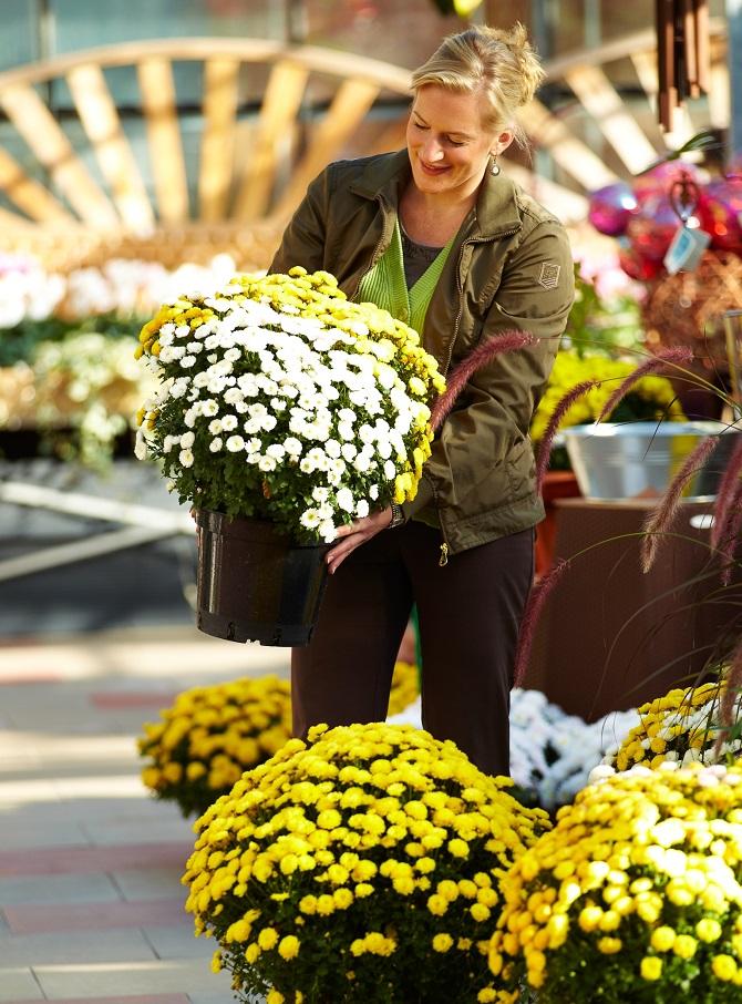 Bildunterschrift: Mit Blüten in Hülle und Fülle und eingetaucht in warmes Herbstlicht sind robuste Kugel-Chrysanthemen echte Stimmungsaufheller. (Bildnachweis: GMH/BVE)