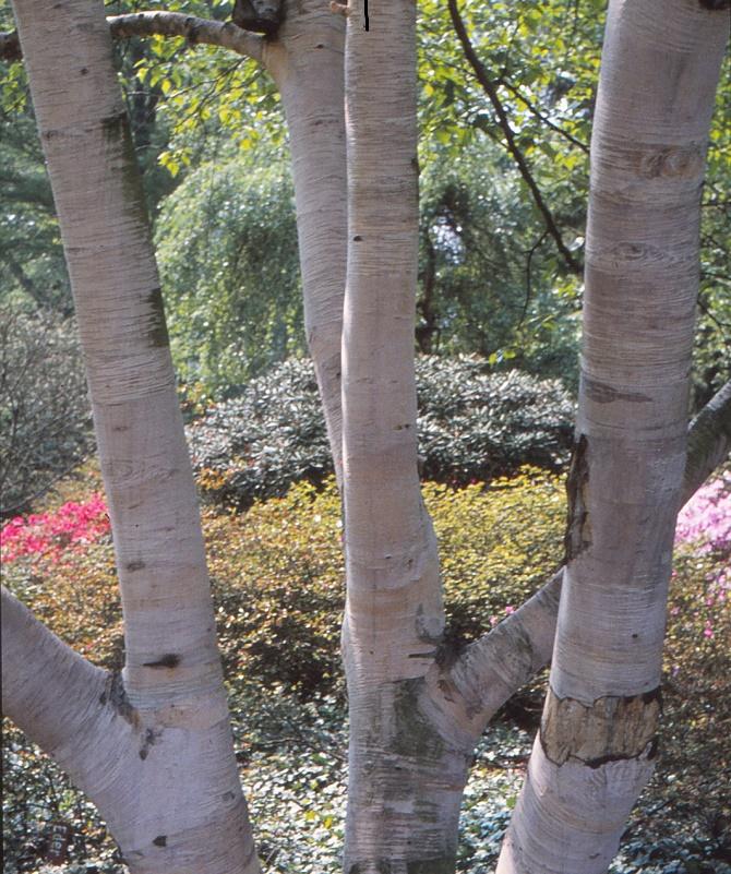 Bildunterschrift: Lichtgestalt: Die auffällig helle Rinde der Gold-Birke (Betula ermannii) ist schon von weitem sichtbar. (Bildnachweis: GMH/GBV)