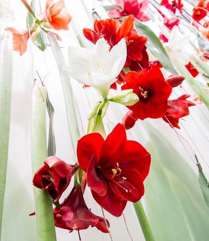 Bildunterschrift: Amaryllis öffnen ihre großen Blüten in der dunklen Jahreszeit. Rot und Weiß sind in der Adventszeit besonders beliebt. (Bildnachweis: GMH/LVW)