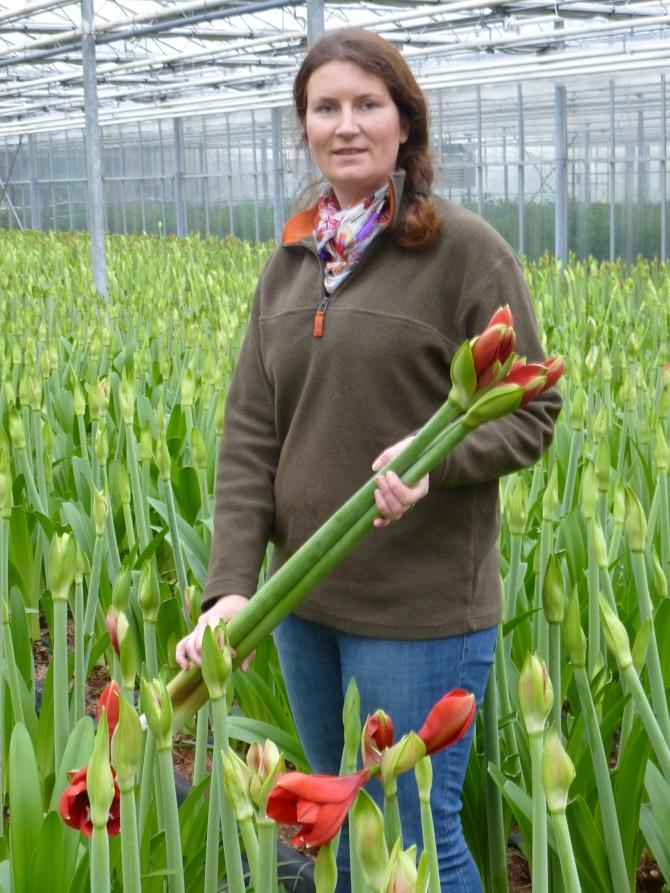 """Bildunterschrift: Floristin Corinna Schluse erntet im Gewächshaus am Niederrhein Blütenstiele der roten Amaryllis-Sorte """"Ferrari"""". (Bildnachweis: GMH/LVW)"""
