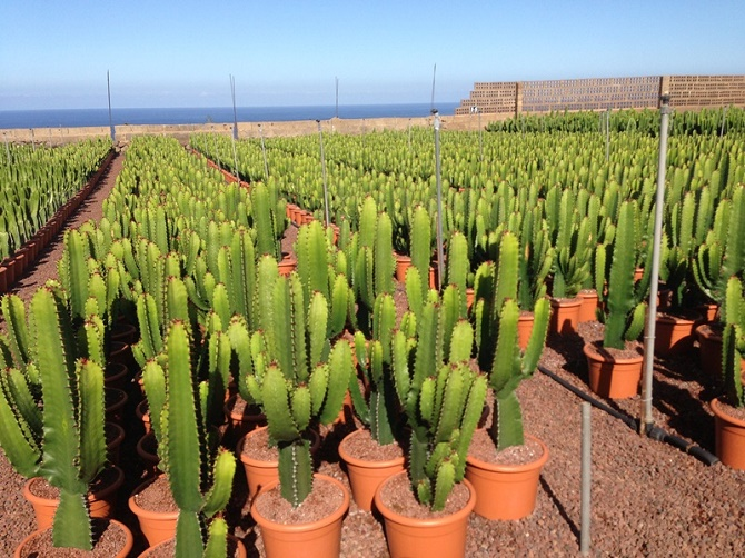 Hohn_Euphorbia T20 in Teneriffa