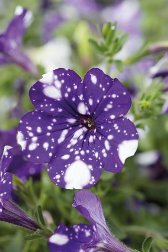 Bildunterschrift: Mit ihrem nachtdunklen Purpurton und den sternengleichen weißen Tupfen erinnert Petunia 'NightSky' an den nächtlichen Sternenhimmel. (Bildnachweis: GMH/Selecta)
