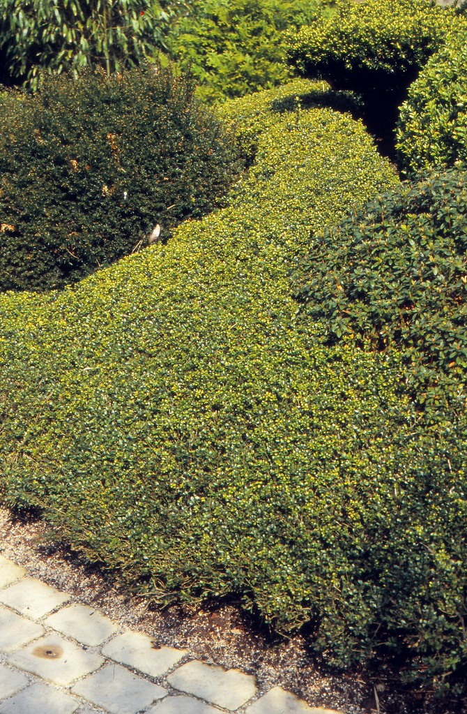 Optisch von Buchsbaum kaum zu unterscheiden ist die Japanische Hülse (Ilex crenata). Der Strauch ist zudem sehr wandlungsfähig – und lässt sich als Bodendecker, Hecke oder Formschnittgehölz verwenden. (Bildnachweis: GMH/GBV)