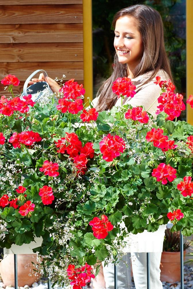 Üppige Blüten in leuchtenden Farben: Im Fachhandel gibt es neue interspezifische Geranien-Züchtungen mit noch besseren Eigenschaften und schönerem Wuchs. (Bildnachweis: GMH/BVE)