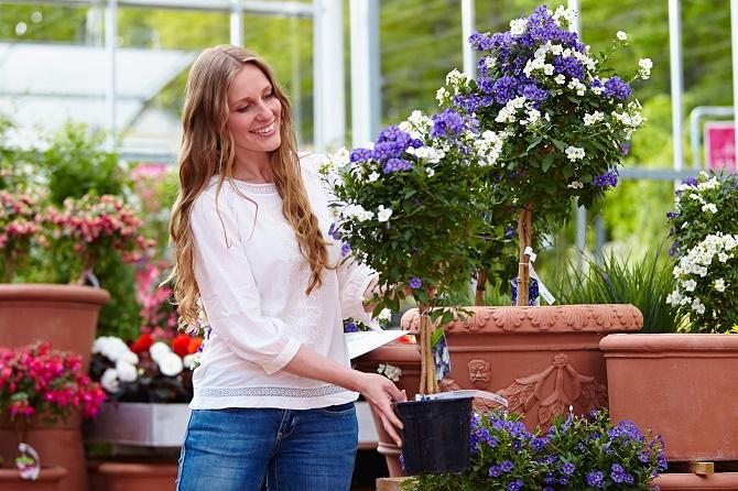 Bildunterschrift: Den Kartoffelstrauch (Solanum rantonnetii) gibt es inzwischen auch zweifarbig mit weißen und blauen Blüten auf einem Hochstämmchen. (Bildnachweis: GMH/BVE)