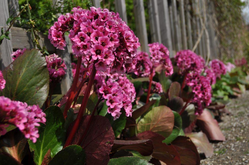 Bildunterschrift: Jedes Blütenbüschel ein kleines Sträußchen: 'David' (Bergenia Hybride) schmückt sich ab April mit leuchtend rosaroten Blüten – ein reizvoller Kontrast zu den vom Winter noch rot-grün verfärbten Blättern. (Bildnachweis: GMH/G. Gieseler)