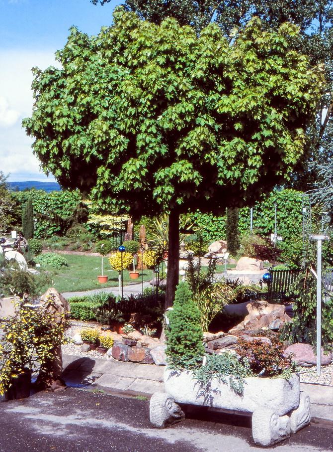 Bildunterschrift: Die Auswahl an kleinbleibenden Gehölzen mit runder Krone wächst. Am bekanntesten ist immer noch der Kugelahorn (Acer platanoides 'Globosum'). (Bildnachweis: GMH/GBV)