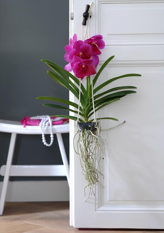 Bildunterschrift: Die Vanda wächst am Besten in einer Glasvase unter einer Lichtquelle. Sie ist nur eine von 25.000 verschiedenen Orchideenarten. (Bildnachweis: GMH/OI)