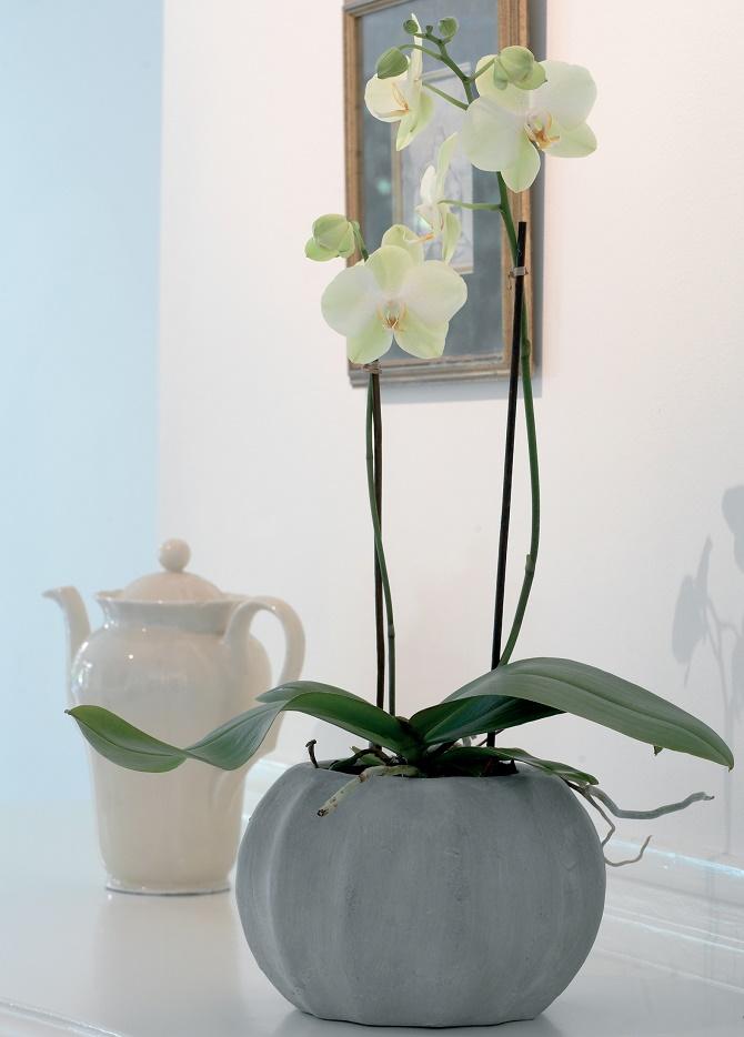 Bildunterschrift: Die Phalaenopsis ist nur eine von 25.000 verschiedenen Orchideenarten. (Bildnachweis: GMH/OI)