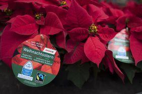 Fair Trade Weihnachtssterne bei toom (Foto: toom)