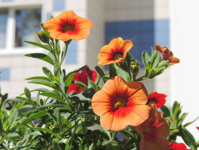 petunien in deutschland gentechnisch ver ndert gawina beet und balkonpflanzen petunien. Black Bedroom Furniture Sets. Home Design Ideas