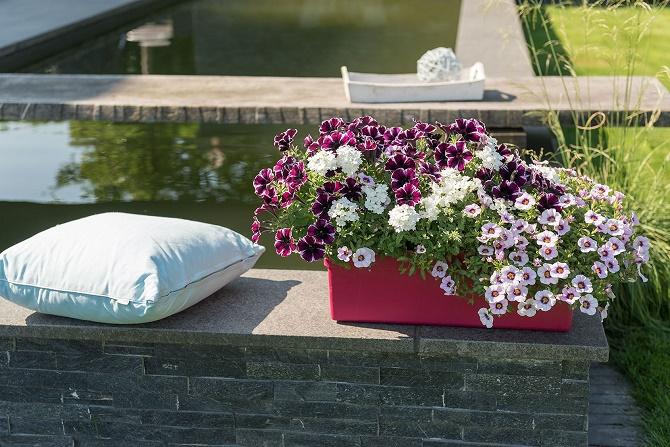 beet und balkonpflanzen des jahres 2018 in norddeutschland gawina beet und balkonpflanzen. Black Bedroom Furniture Sets. Home Design Ideas